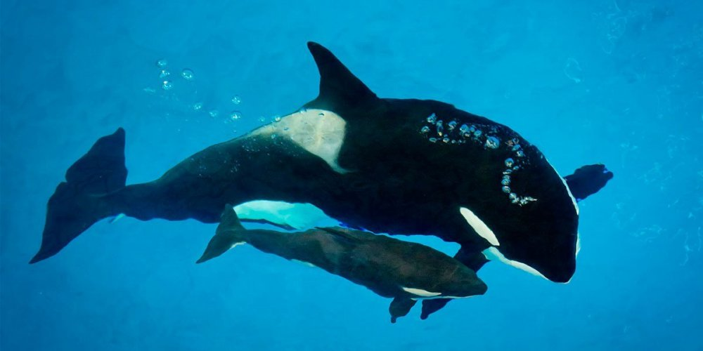 seaworld-orca-kyara.jpg