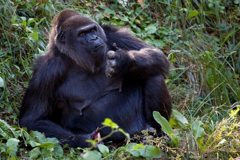 Shamba_western lowland gorilla_Zoo Atlanta (002).jpg