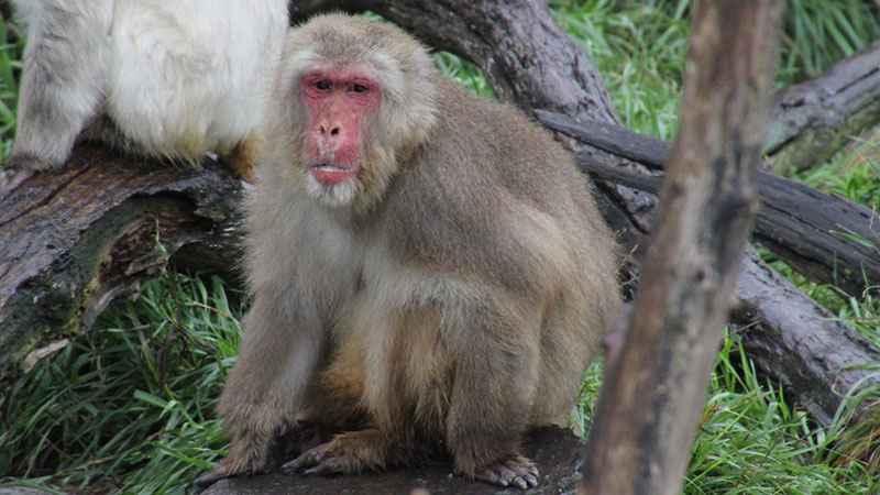 800nikkosnow-monkey.jpg